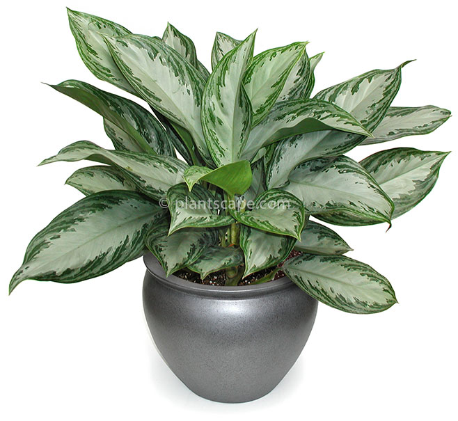 Aglaonema Silver Bay Low light plant for interior